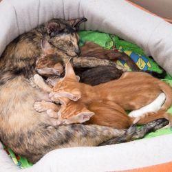 Ориентальная кошка кормит котят