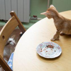 Питомник ориентальных кошек