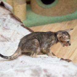 Как сфотографировать ориентального котёнка