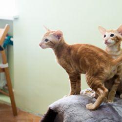 Рыжие ориентальные котята