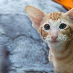 Красивый рыжий ориентальный котёнок с зелёными глазами из питомника Аватар