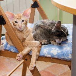 Ориентальные кошки умеют скручиваться так, что кажется будто у них вообще нет позвоночников :)