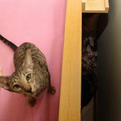 Ориентальная кошка прячет котят