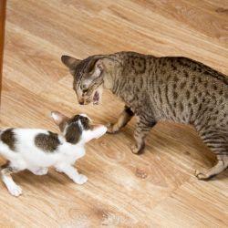 Ориентальные котята. Ориентальные кошки. Питомник ориентальных кошек в Москве. Купить ориентального котёнка. Кошкин дом.