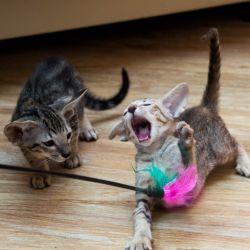 Ориентальная кошка охотится