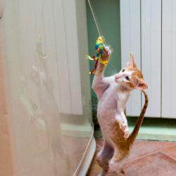 Ориентальный котёнок играет. Ориентальные кошки. Питомник ориентальных кошек в Москве. Купить ориентального котёнка.