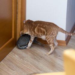 Ориентальный котёнок. Питомник ориентальных кошек в Москве. Купить ориентального котёнка. Ориентальные кошки.