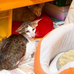 Ориентальные кошки. Ориентальные коты. Питомник ориентальных кошек в Москве. Купить ориентального котёнка.