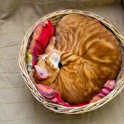 Красный рыжий ориентальный кот. Питомник ориентальных кошек в Москве. Купить ориентального котёнка.