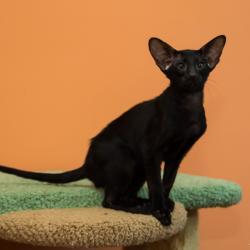 Чёрный ориентальный котёнок. Ориентальные кошки. Питомник ориентальных кошек в Москве. Питомник кошек.
