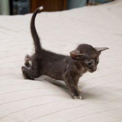 Шоколадная черепаха ориентальный котёнок. Питомник ориентальных кошек. Купить ориентального котёнка. Фото ориентальных котят.
