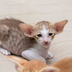 Шоколадный пятнистый биколор ориентальный котёнок. Питомник ориентальных кошек. Купить ориентального котёнка. Фото ориентальных котят.