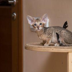Чёрный пятнистый ориентальный котёнок. Питомник ориентальных кошек. Купить ориентального котёнка. Фото ориентальных котят.