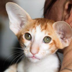 Красный пятнистый биколор ориентальный котёнок. Питомник ориентальных кошек. Купить ориентального котёнка. Фото ориентальных котят.