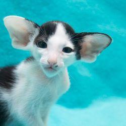 Чёрный ориентальный котёнок биколор. Питомник ориентальных кошек в Москве. Купить котёнка.Истории и фотографии о жизни кошек.