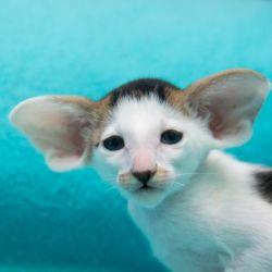 Чёрный ориентальный котёнок пятнистый биколор. Питомник ориентальных кошек в Москве. Купить котёнка.Истории и фотографии о жизни кошек.