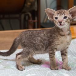 Шоколадный пятнистый ориентальный котёнок