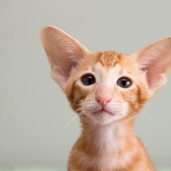 Портрет красивого ориентального котёнка, красный мраморный.