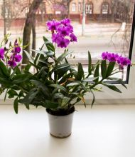 Орихидея цветёт, не обращая внимания на кошек.