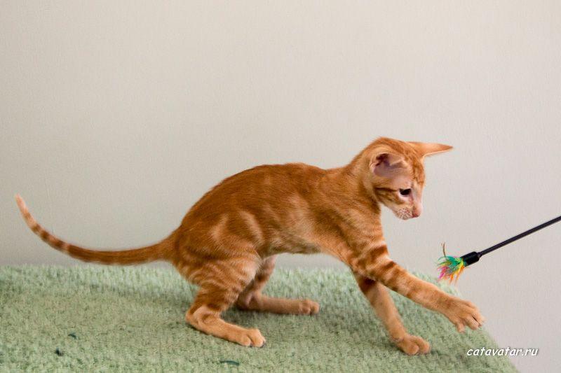 Рыжий мраморный ориентальный котёнок